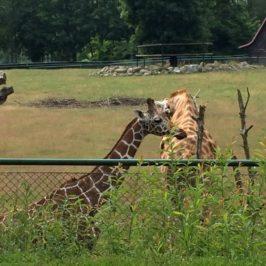 Gdańskie Zoo z dzieckiem – zwiedzanie w pociągu i lwy