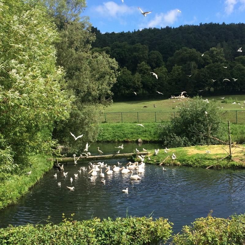 Mewy i bociany wyjadają śniadanie pelikanom.